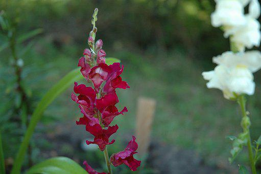 Antirrhinum, Dragon Flower, Snapdragon, Flowers, Majus