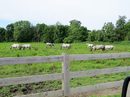 Horses, Appaloosa, Large, Spotted, Herd, Pasturing