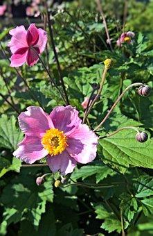 Autumn Anemones, Shrub, Ornamental Plant, Garden