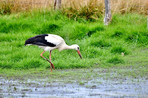 Stork, Plumage, Beak, Legs, Birds, Wing, Elegant, Bird
