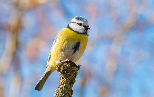 Tit, Bird, Pastel, Portrait, Cute, Garden, Blue, Yellow