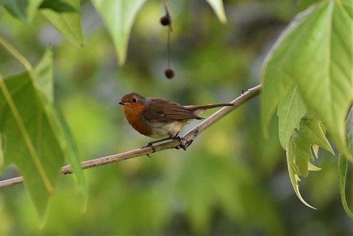 Robin Redbreast, Redbreast, Bird, Nature, Songbird