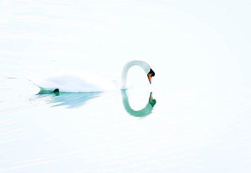 Swan, Bird, Sweetness, Reflection, Water, White, Nature