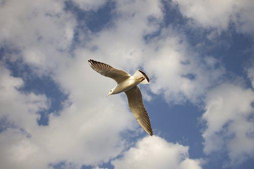 Bird, Sky, Fly, Nature, Animal, Clouds, Flight, Birds