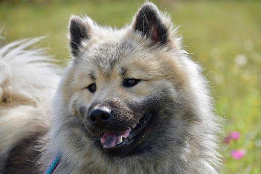 Dog, Eurasier, Black Mask, Ears, Brown Eyes, Canine