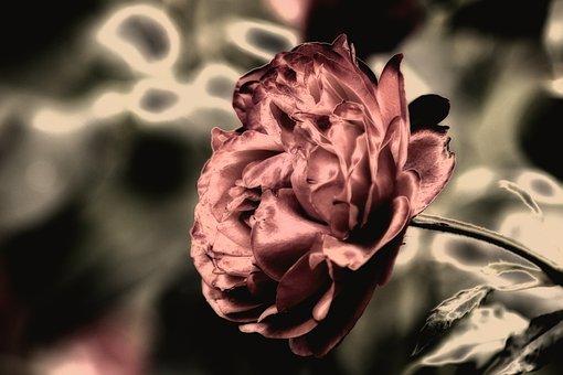 Rose, Plant, Ornamental Plant, Blossom, Bloom, Bloom