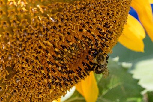 Sunflower, Flower, Close Up, Bee, Bumblebee, Seeds
