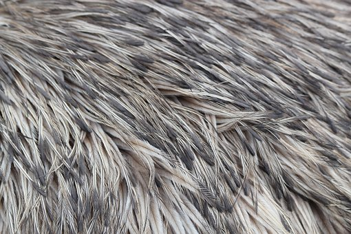 Emu, Feathers, Bird, Pattern