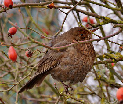 Blackbird, Female, Bird, Winter, Fauna, Brier, Bush