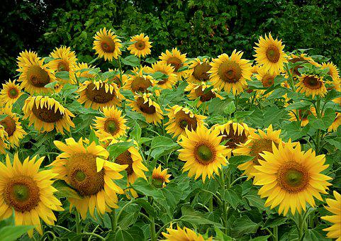 Sunflowers, Field, Agriculture, Yellow, Flowers, Summer