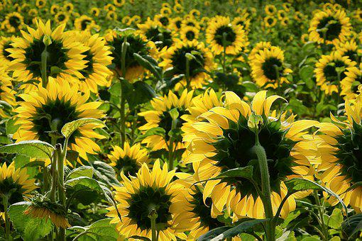 Sunflowers, Agriculture, Field, Yellow, Summer