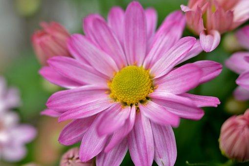 Chrysanthemum, Flower, Pink, Yellow Heart, Flora