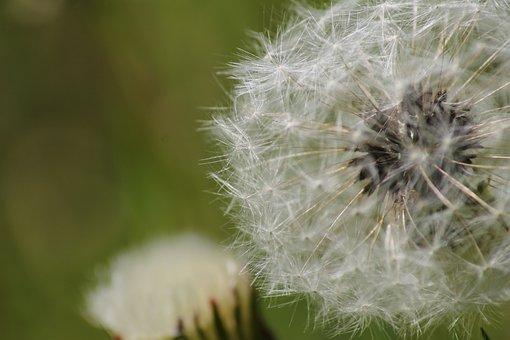 Dandelion, Meadow, Nature, Summer, Seeds, Flower
