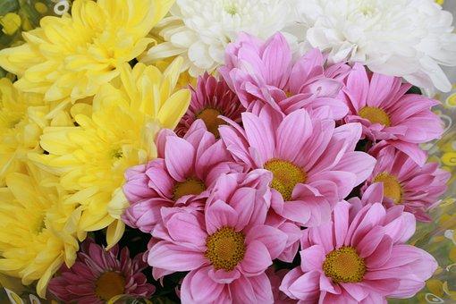 Chrysanthemum, Flowers, Yellow, Pink, White