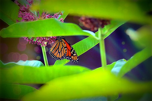 Monarch, Green, Leaves, Milkweed, Nature, Insect