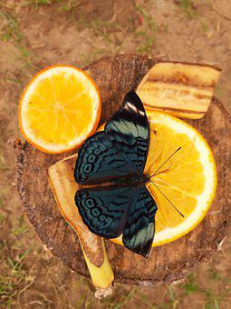 Butterfly, Nature, Insect, Fruit, Citrus, Food, Health