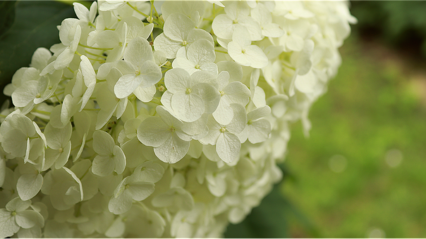 Hydrangea, Hell, Bright Flower, White Blossom, Flower
