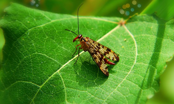Scorpionica Total, Female, Insect, Antennae, Model