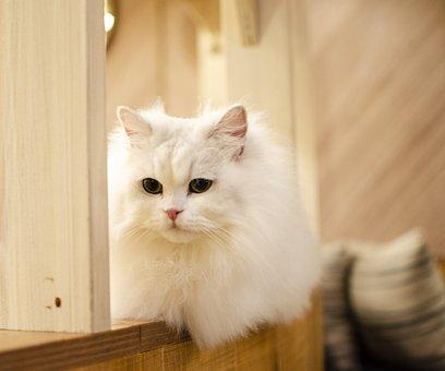 White Cat, Cat, Kitty, Fluff, Fluffy Cat, Kitten, Pet