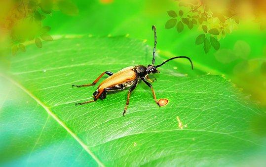 Zmorsznik Red, Tom, The Beetle, Kózkawate, Insect, Leaf