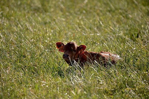 Little Calf, Cow, Mammal, Young, Meadow, Countryside