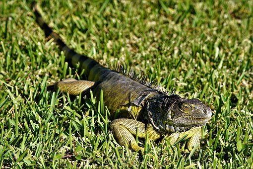 Iguana, Lizard, Dragon, Large, Green, Black, Iridescent