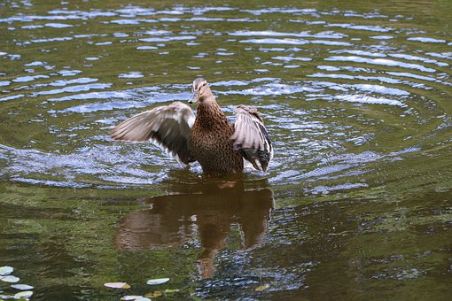 Duck, Wild Duck, Mallard, Birds, Fauna, Flying, Wild