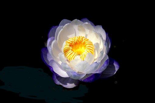 Lotus, Nature, Summer, Ladybug, Wild, Plant, Flowers