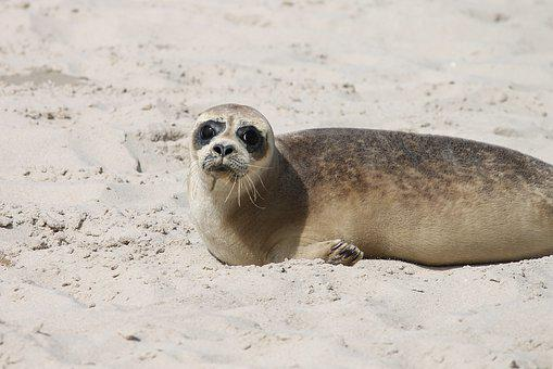 Robbe, Young Animal, Beach, North Sea, Fur, Face