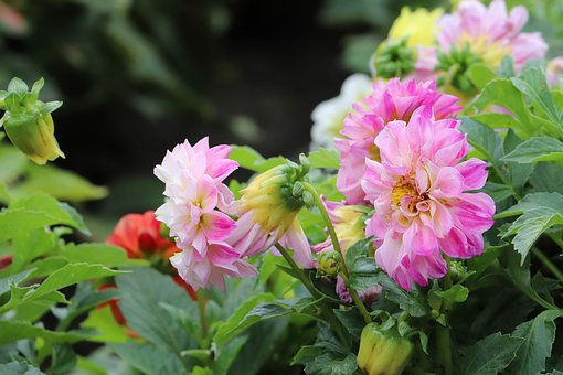 Common Peony, Peony, European Common