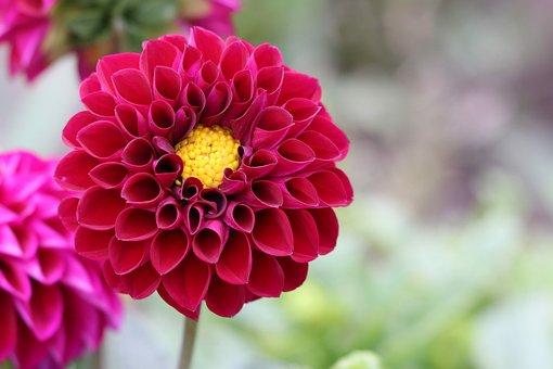 Dahlia Flower Garden, Dahlia, Flower, Pink Flower