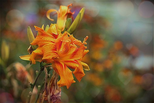 Lily, Orange, Double, Flower, Nature, Flora, Plant