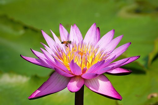 Lotus, Nature, Summer, Ladybug, Wild, Plant, Flowers