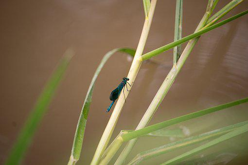 Dragonfly, Reed, Nature, River, Insect, Bug, Animal