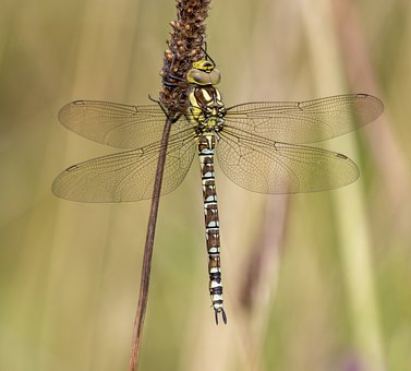 Southern-hawker, Dragonfly, Nature, Insect, Pattern