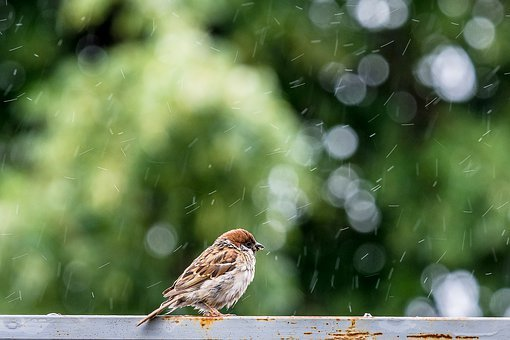 Animals, Birds, Sparrow, Nature, Plumage, Pen, Rain