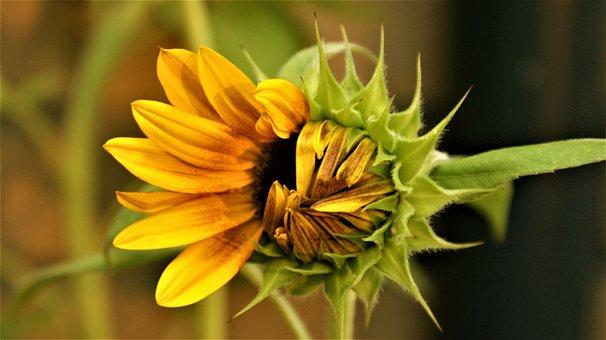 Sunflower, Open, Vegetable, Summer, Yellow, Garden