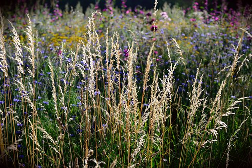 Grasses, Wild Flowers, Field, Nature, Summer, Plant