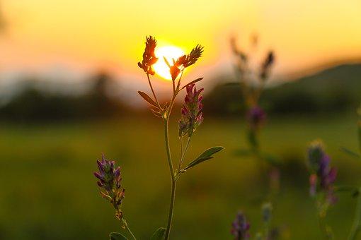 Sunset, Flower, Macro, Summer, Plant, Sky, Outdoor