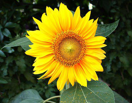 Sunflower, Garden, Flowers, Nature, Yellow, Blossom