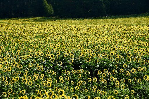 Agriculture, Sunflowers, Field, The Cultivation Of