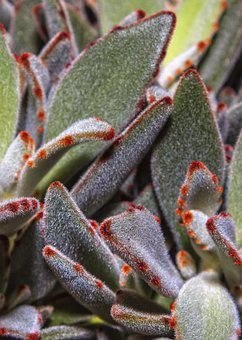Kalanchoe, Flower, Plant, Thick Sheet Greenhouse