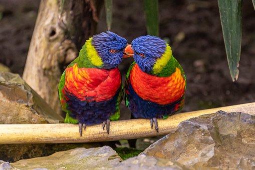 Birds, Lori, Animal, Tropical, Trichoglossus Moluccanus