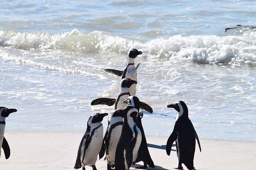 Penguins, Sea, Waves, South Africa, Western Cape, Beach