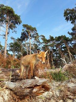 Fuchs, Forest, Nature, Wild Animal, Little Fox, Beach