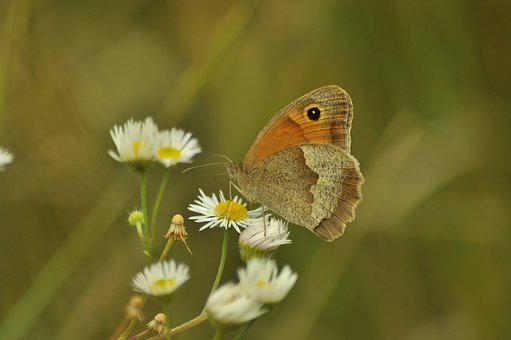 Butterfly, Daisy, Nature, Insect, Flower, Meadow, Wings