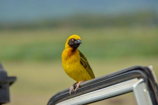 Yellow Bird, Africa, Safari, Yellow, Tanzania