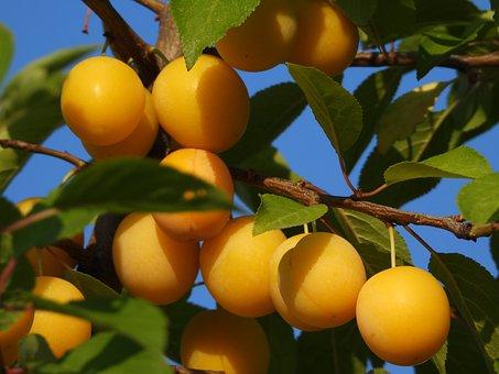 Fruit Tree, Field, Drain Mirabelka, Yellow Plum, Green