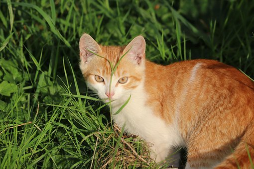Cat, Pets, Animal, Kitten, Young, Kitty, Look, Redhead