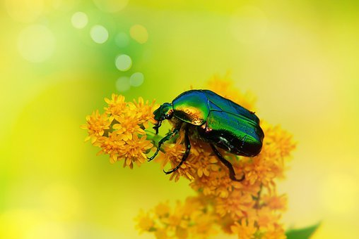 Kruszczyca Złotawka, The Beetle, Insect, Antennae